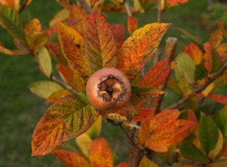 Nearly ripe medlar