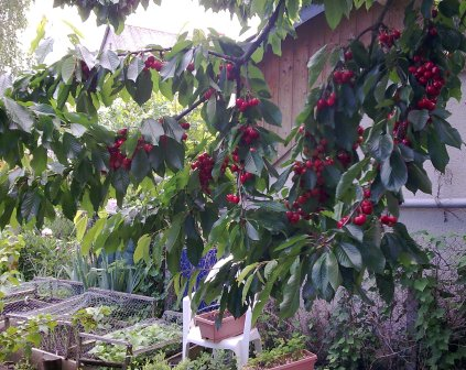 Ripening cherries one week on