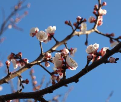 Apricot blossom 2011