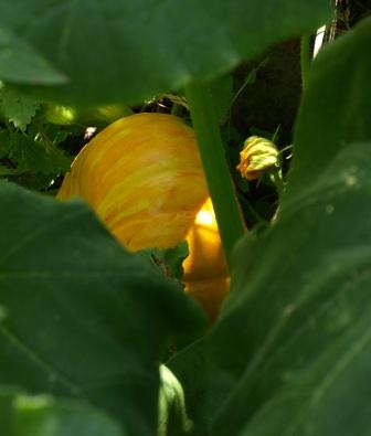 Hiding pumpkin