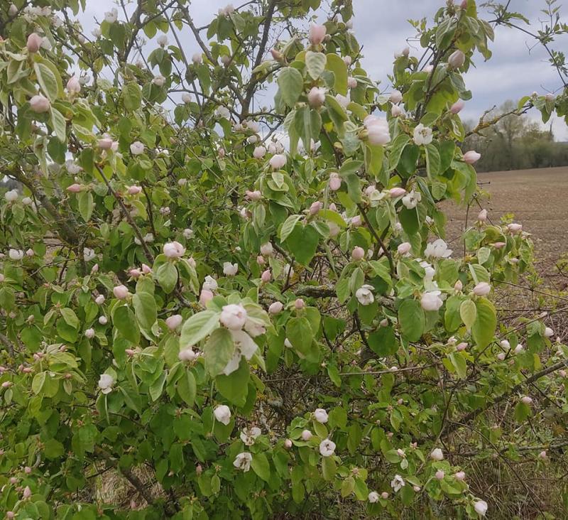 Qunce blossom
