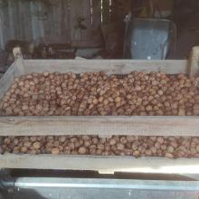 Walnut crop