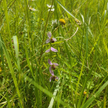 4 flower bee orchid