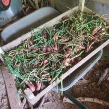 The shallot harvest