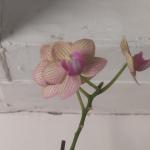 Refugee orchid 1
