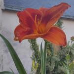 Striking day lily